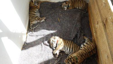 Photo of Presentan a tigres nacidos en el Centro de Rescate Animal del Bioparque de Tizayuca