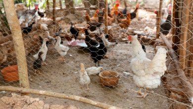 Photo of Promueven en Tula, paquetes de aves de traspatio a bajo costo