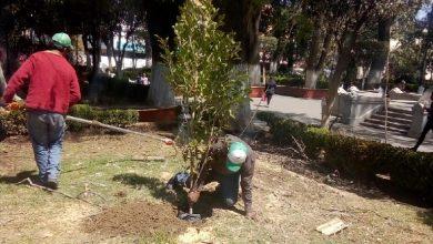 Photo of Este jueves concluyó reposición de 6 árboles en Jardín La Floresta  en Tulancingo