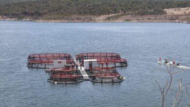Photo of Arrancan moderna producción de mojarra en la Presa El Yathé, Alfajayucan