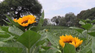 Photo of Desarrollo Rural en Tulancingo trabaja siembra de girasol para la extracción de aceite vegetal