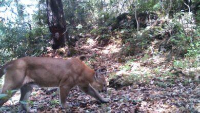Photo of SEMARNATH fortalece corredor biológico del puma
